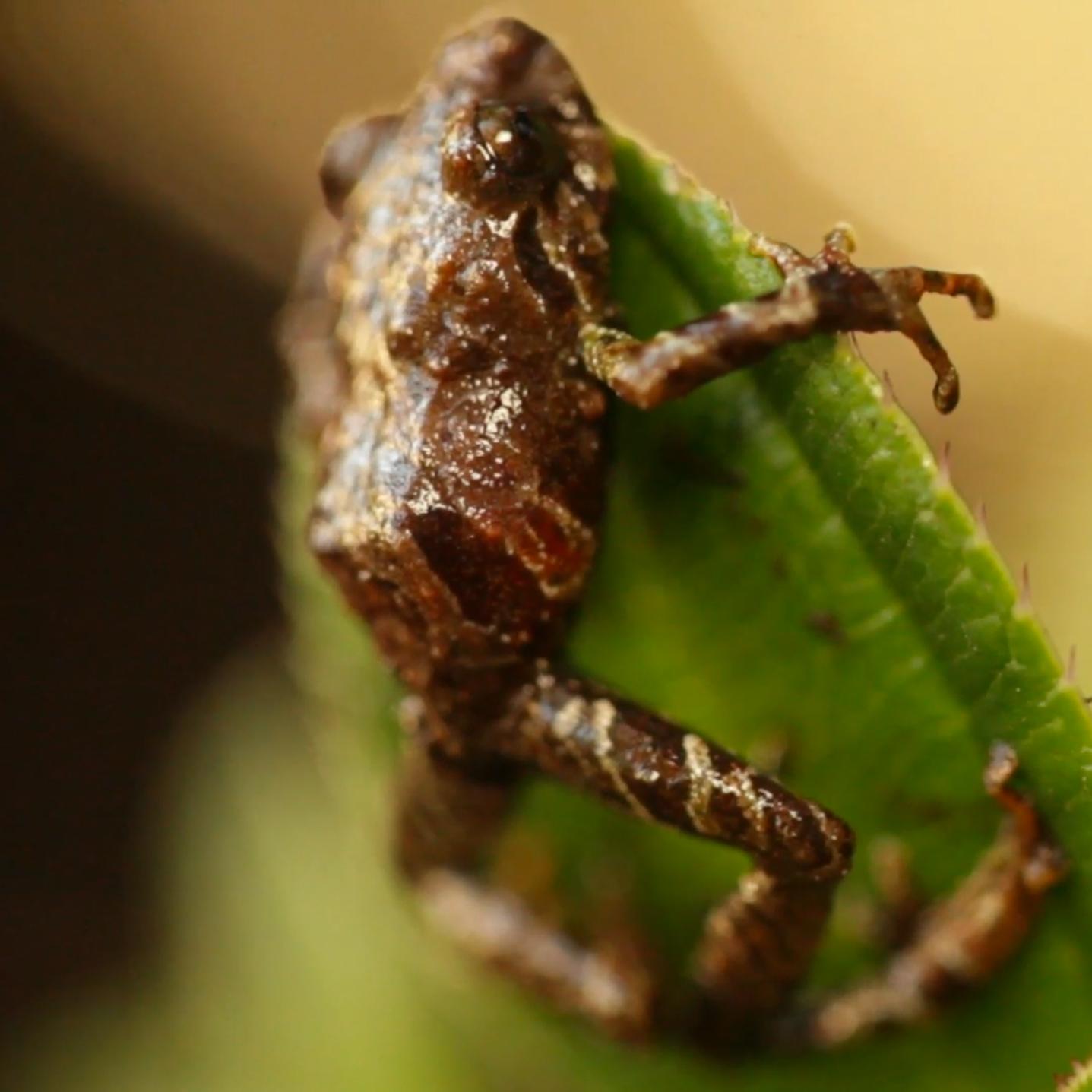 Puro Frog